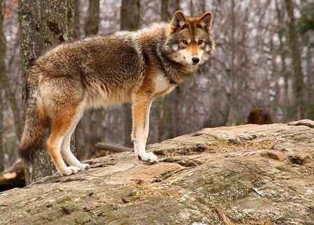 perceptive: Coyote che si leva in piedi su una roccia