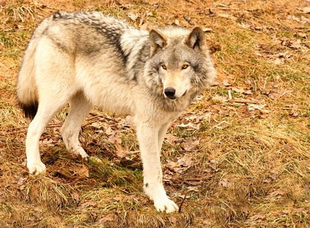 observant: A gray wolf is standing on the grass on a spring day.