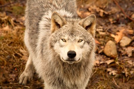 quadruped: This is a young gray wolf looking up at the camera.