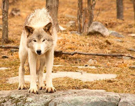 perceptive: Si tratta di un giovane lupo grigio pronto a saltare alla mia macchina fotografica ... ma non lo facevano.