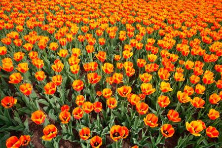 unfold: Tulips Stock Photo