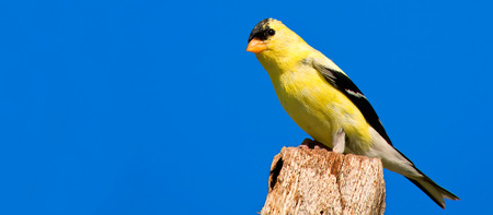wild canary: American Goldfinch