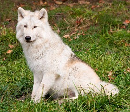 perceptive: Artico Wolf Guardando il Macchina fotografica