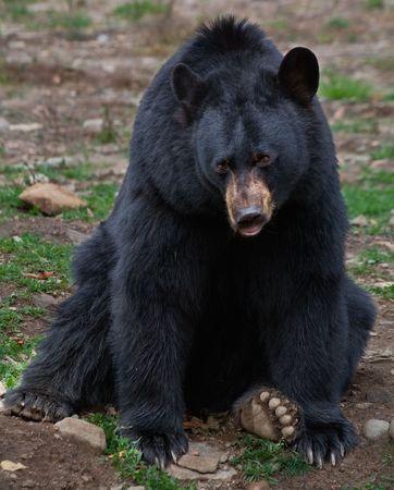 black bear: American Black Bear