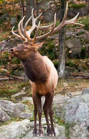 quadruped: Male Deer