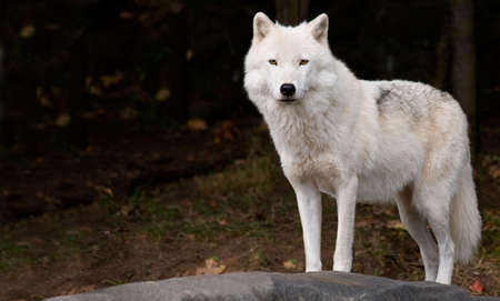 quadruped: An arctic wolf is looking at the camera.