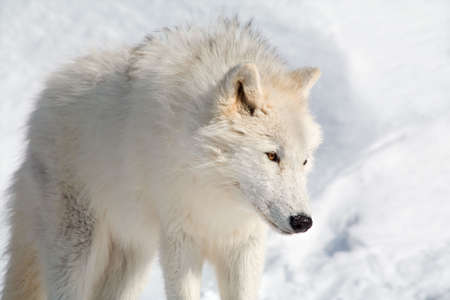 quadruped: An arctic wolf is walking in the snow Stock Photo