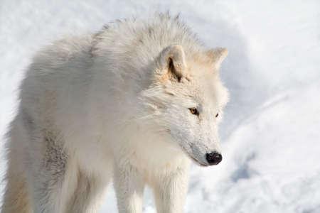 perceptive: Un lupo artico � camminare nella neve