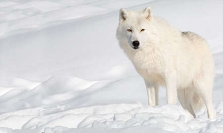 An arctic wolf in the snow is looking at the camera.  Stock Photo