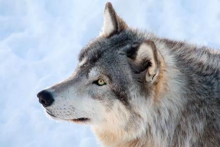 on gray: On a winter day, a  gray wolf is looking up.