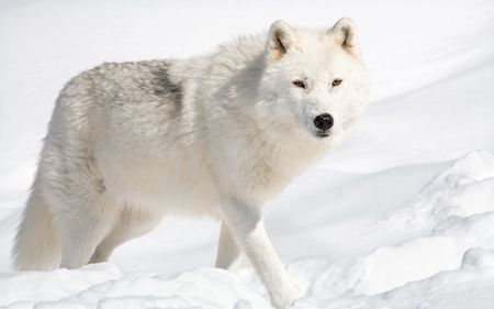An arctic wolf in the snow is looking at the camera.  photo