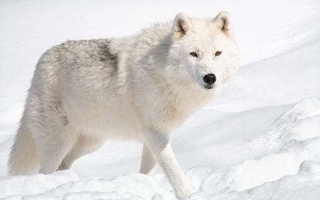 perceptive: Artiche un lupo nella neve sta esaminando la fotocamera.