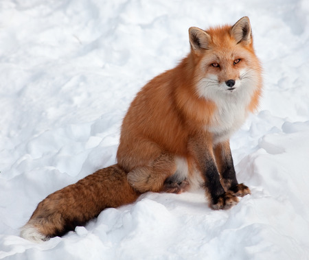 canid: Young Red Fox in the Snow Looking at the Camera Stock Photo