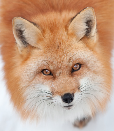 face close up: Young Red Fox Looking up at the Camera