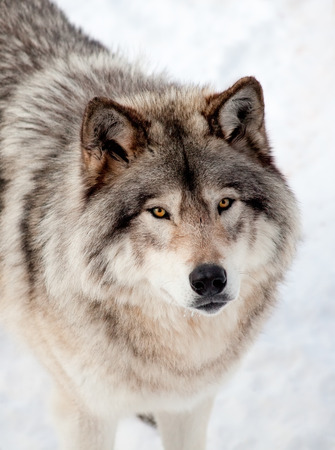 Gray Wolf in the Snow Looking up at the Camera photo