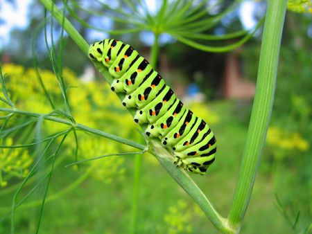 exterminate: Bright green caterpillar on a plant Stock Photo