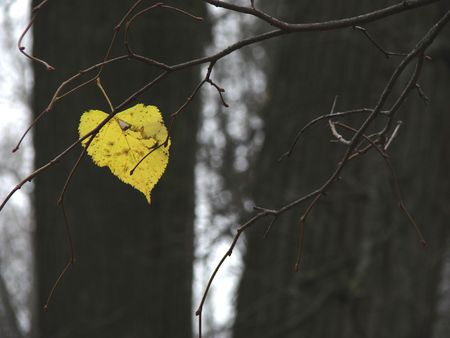 lonely autumnal leaf on tree branch                                photo