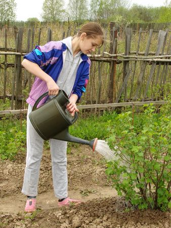 adolescent girl watering blackcurrant bush at the rural farm                               photo