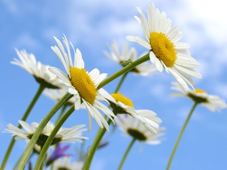 wild daisies against blue sky