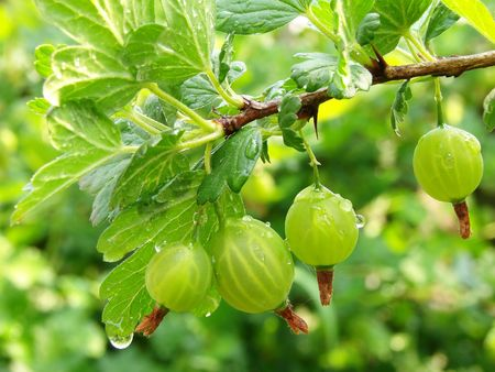 gooseberries: some green gooseberries on the branch with rain drops