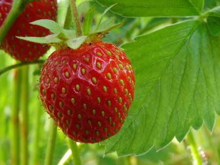ripe strawberry fruit on the branch                                photo