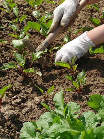 mattock: woman hands hoeing the vegetable bed at the kitchen garden