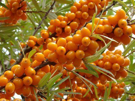buckthorn: ripe sea buckthorn berries (Hippophae rhamnoides)