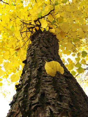 autumnal tree fragment with bright yellow foliage                                   photo