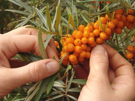 cropping: hands cropping sea buckthorn berries from the branch