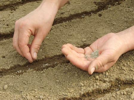 siembra: mujer de las manos la siembra de semillas
