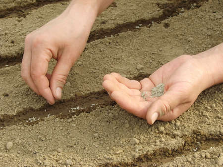 woman hands sowing seeds                                 photo