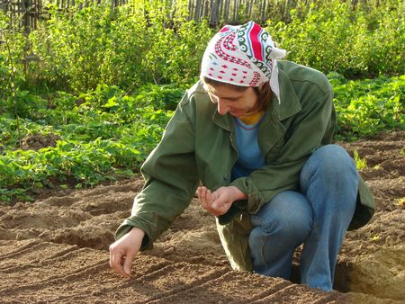 hoeing: woman planting seeds to the vegetable bed                                 Stock Photo