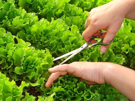 cropping: woman hands cropping green lettuce leaves closeup