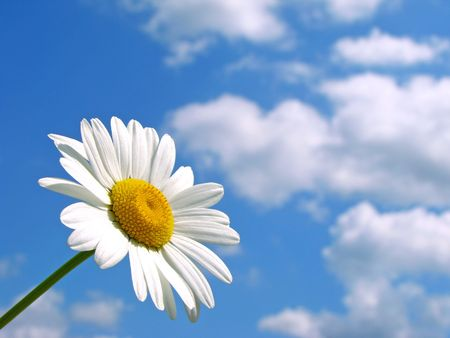 wild daisy against blue sky with light clouds Stock Photo - 5047254