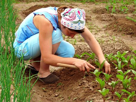 woman hoeing beetroot sprouts on the vegetable bed                                photo