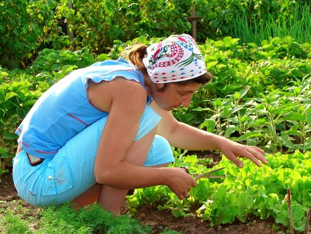 cropping: woman cropping green lettuce from the vegetable bed                                Stock Photo