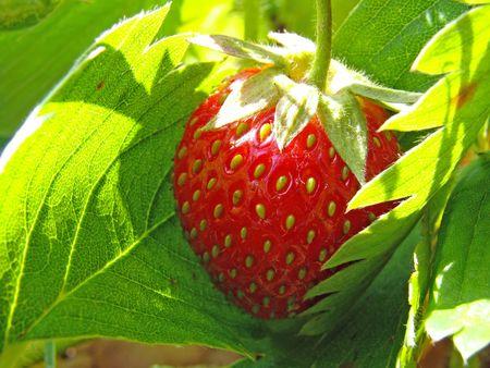 ripe strawberry fruit among the leaves                           photo