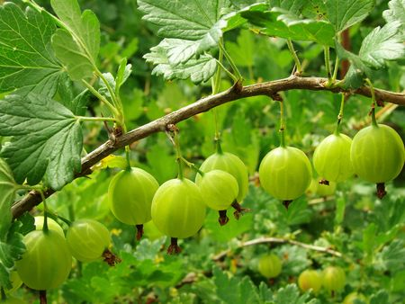 grosellas verdes sobre la rama Foto de archivo - 5161778