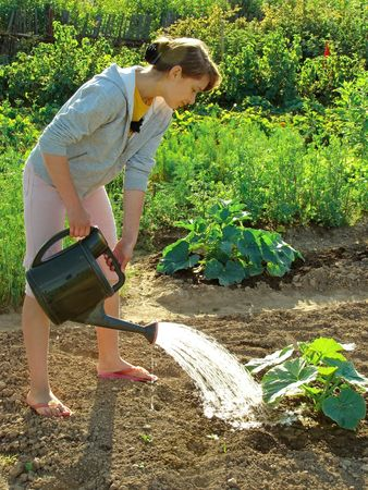 adolescent girl watering vegetable bed with marrows sprouts                                photo
