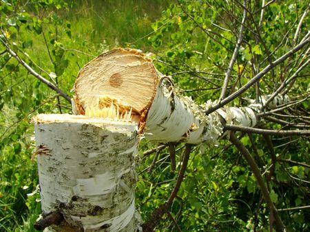 birchbark: fresh felled birch in the field