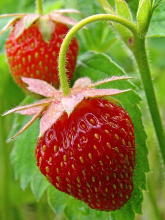 ripening strawberry fruits on the branch                                photo
