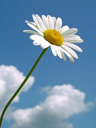 wild daisy against blue sky with light clouds                                photo