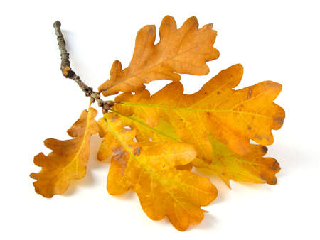dry leaf: oak branch with dry autumnal leaves                                 Stock Photo