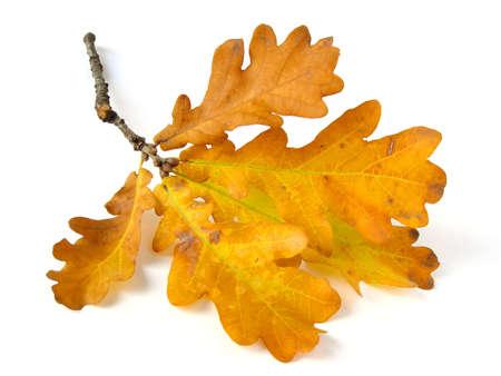 hojas secas: rama de roble con hojas secas de oto�o