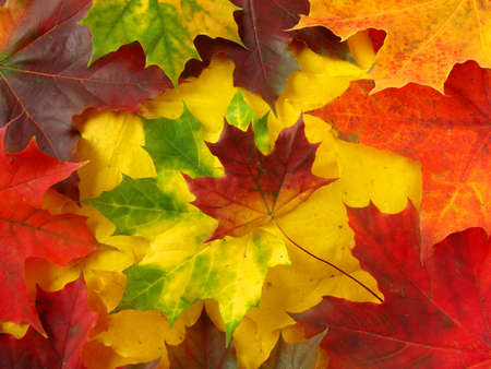 awesome colors of dry maple leaves in Autumn                                photo
