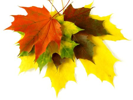 colorful maple autumnal leaves pile on white                                 photo