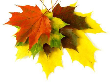 hojas secas: colorido oto�al pila de hojas de arce en blanco Foto de archivo