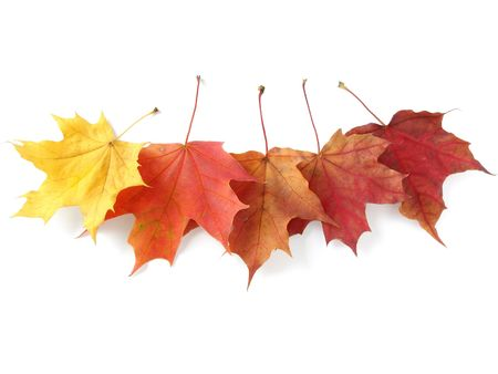 five bright autumnal maple leaves on white                                photo