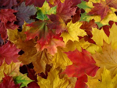 dry leaves: colorful fallen maple leaves collection