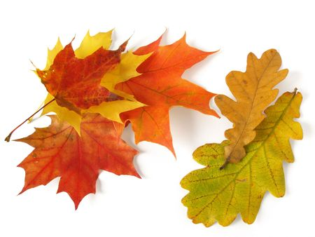 some autumnal maple and oak leaves on white                                photo
